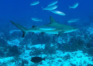 reef sharks_opt